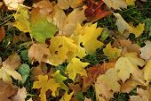 Multi-colored leaves of a maple fell down and lie on the autumn earth for a background poster
