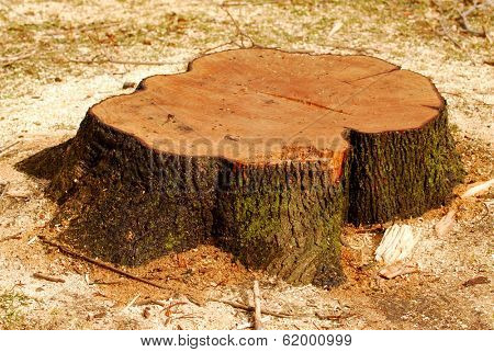 Stump of a freshly cut tree surrounded by saw dust