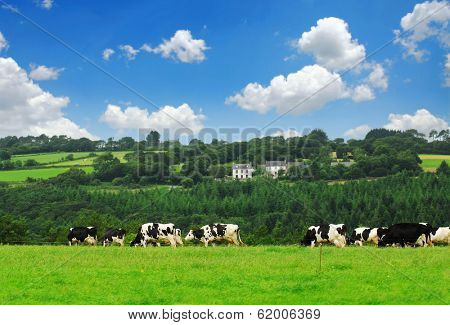 Cows grazing on a green pasture in rural Brittany, France