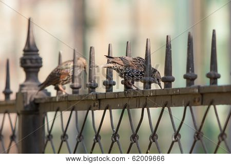 Two Starling