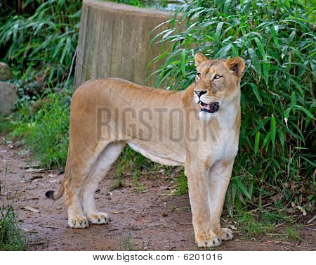 Female Lion (panthera Leo) Growling
