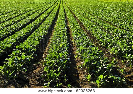 Rows of turnip plants in a cultivated farmers field