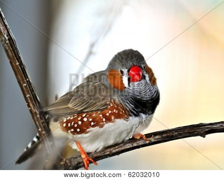 Zebra finch (Taeniopygia guttata) perched on branch