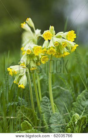 Cowslip flowering in early spring