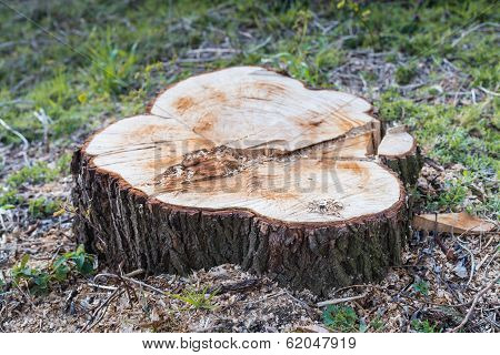 Closeup Of A Sawed Tree