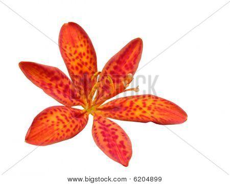 Blackberry Lily