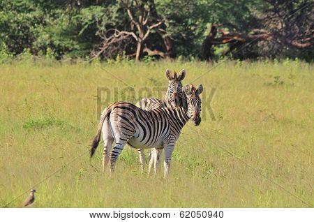 Zebra Background - Wildlife from Africa - Funny Nature.