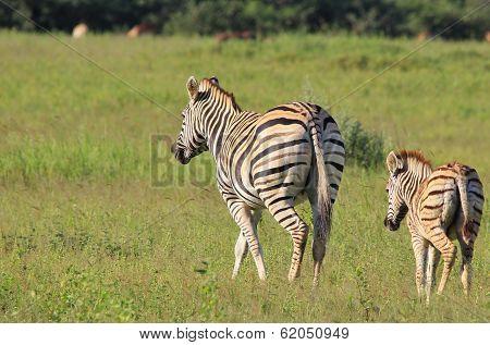 Zebra Background - Wildlife from Africa - Baby Animals