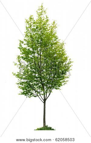 Single young tree with green leaves isolated on white background