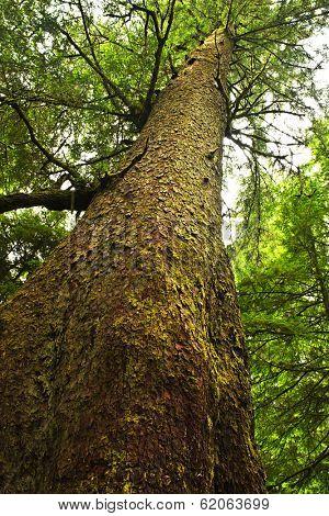 Tall western hemlock tree trunk in temperate rain forest. Pacific Rim National Park, British Columbia Canada