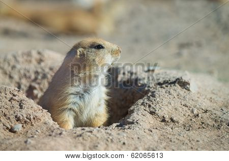 Prairie Dog At His Burrow