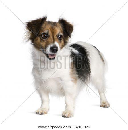 Gemengd ras hond met een Jack Russell Terrier, 8 jaar oud, voor witte achtergrond