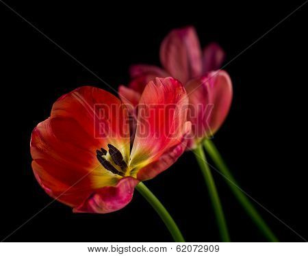 Withering red tulips