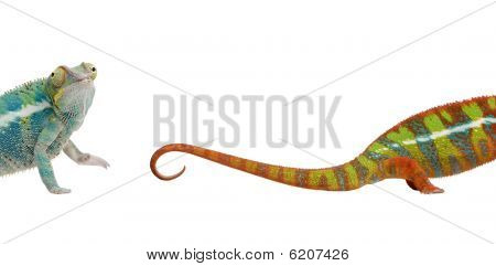 Young Chameleon, Against White Background, Studio Shot