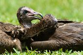 Two Hooded Vultures (Necrosyrtes monachus) mutually preening each other poster