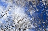 Winter tree tops covered with fresh snow on blue sky background