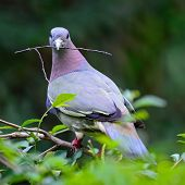 A male Pink-necked Green-Pigeon (Treron vernans)? perching on the branch and catching some branches of tree for preparing his nest back profile poster