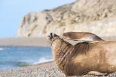 Southern elephant seal male Valdes Peninsula Patagonia Argentina. poster