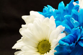 Blue and White Gerber Daisies