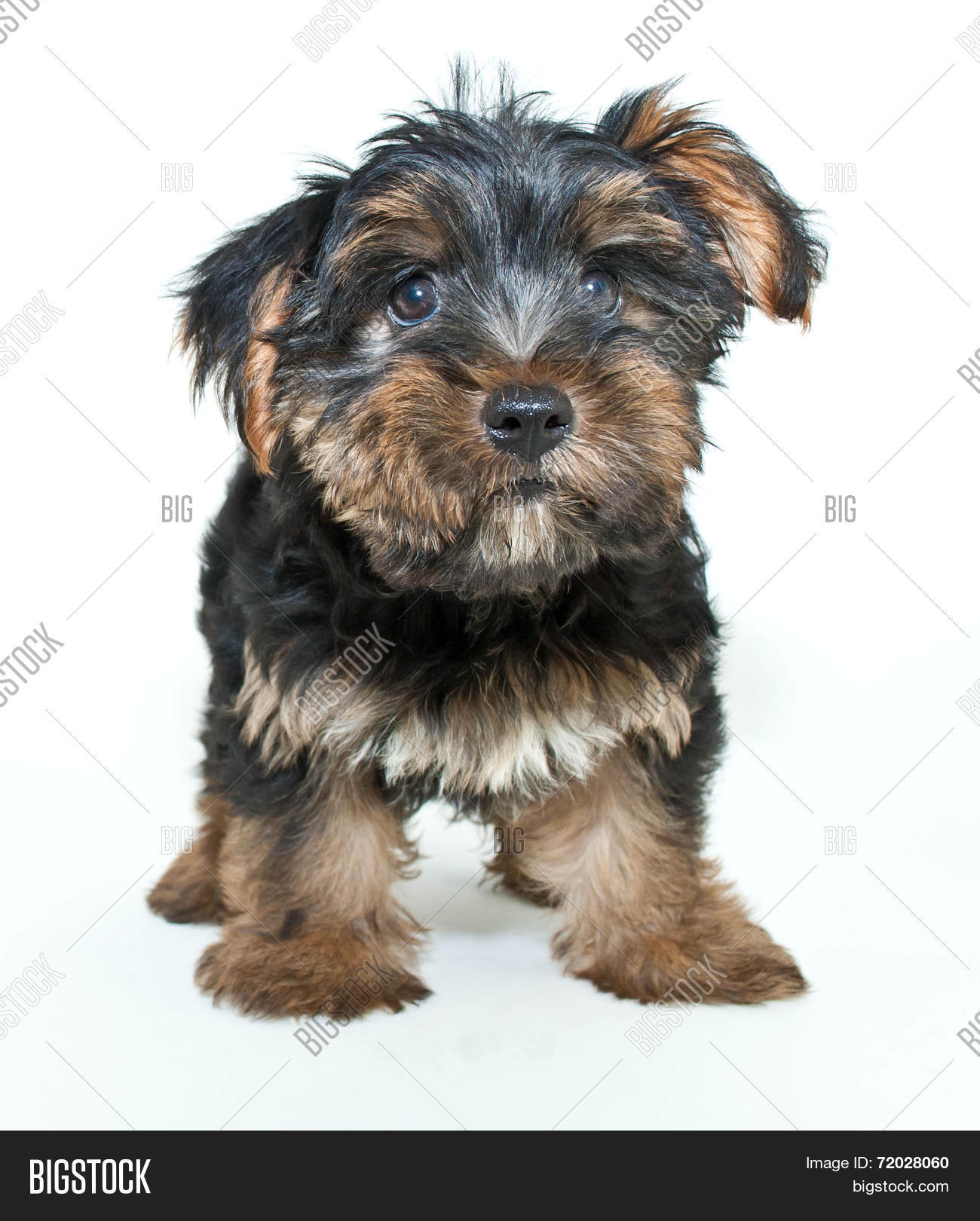 Yorkie Puppy Image Photo Free Trial