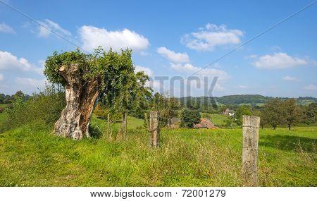 Pollard willow in a meadow in sunlight