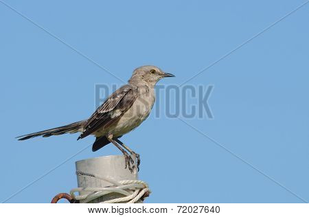 Northern Mockingbird With Blue Background