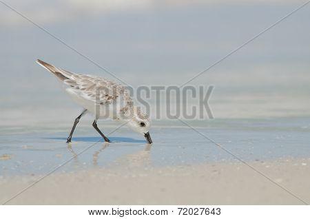 Sanderling With Beak In Sand