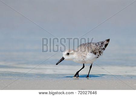 Sanderling On Beach Shore