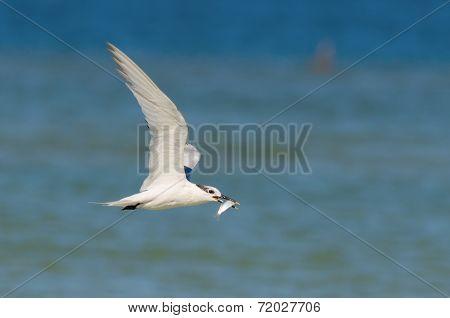 Sandwich Tern Feeding