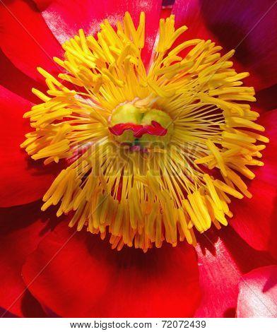 Close up of Gerera daisy stamens