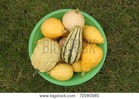 Decorative yellow pumpkins collected from a bush in a light-green basket for onward transportation