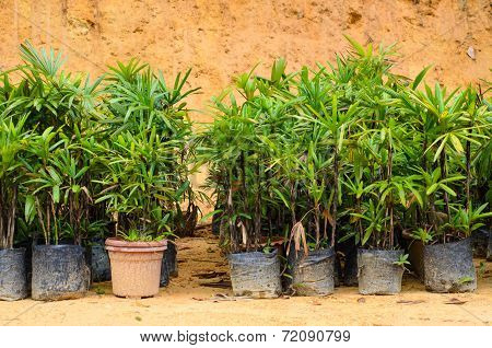 Young Plants In Pots Are Ready To Be Places In The Ground