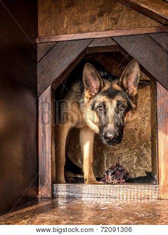 German shepherd lurking from its wooden kennel
