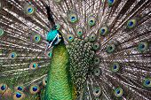 Male Green Peafowl (Peacock) - Pavo muticus - from Southeast Asia. poster