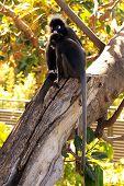 Dusky Leaf Monkeys - Semnopithecus obscurus - in a Morton Bay Fig Tree poster