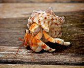 Orange Hermit Crab in His Shell isolated on Plank Wooden background Outdoors poster