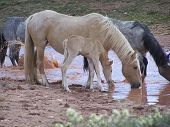 Wild horses drinking from a muddy water hole in the spring poster