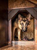 German shepherd lurking from its wooden kennel poster