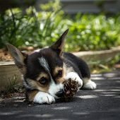 Young corgi dog chewing pine cone in shade. poster