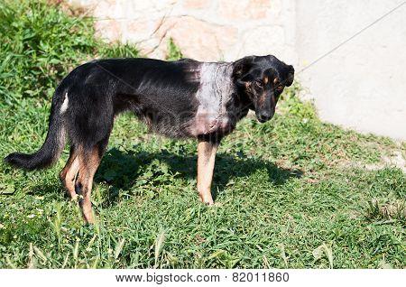 Injured Dog