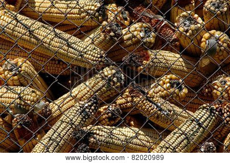 Bad moldy corn with Aflatoxin - Aspergillus flavus and Aspergillus parasiticus poster