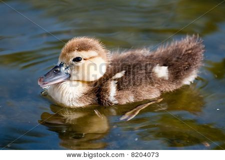 Small Duck