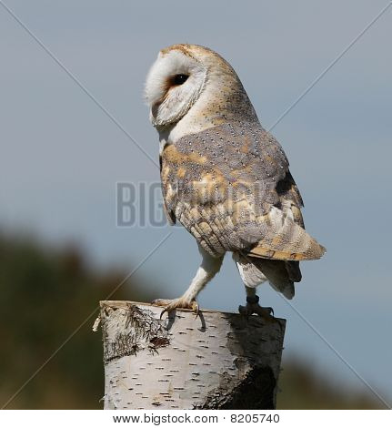 A portrait of a Barn Owl perched on a Silver Birch stump poster