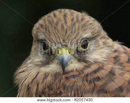 Kestrel Head