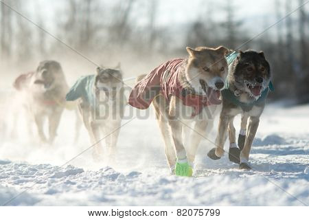 Dog Sled Team
