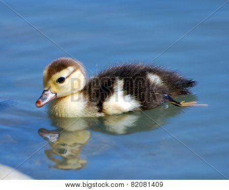 Duckling Swims