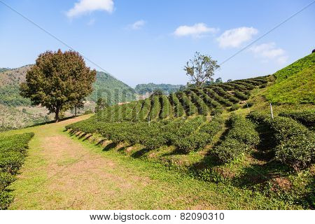 Tea plantation at Doi Mae Salong Chiang Rai Thailand