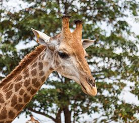 Close view of the head of the giraffe