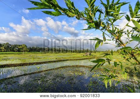 Philippines Rice Seedlings