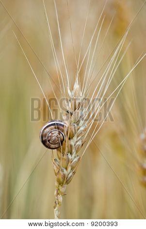 Little Snail On Ear Of Wheat